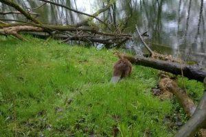 Bóbr ochrona przyrody ekopatrol
