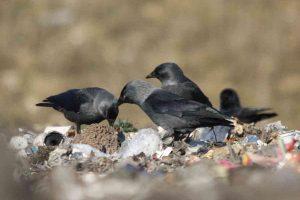 ptaki na składowisku odpadów