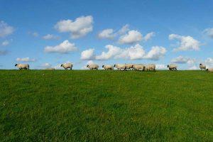 wypas owiec i ochrona przyrody