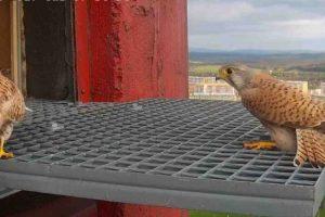 ochrona ptaków pustułka
