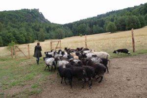 Owce wrzosówki chronią łąki KPN-u