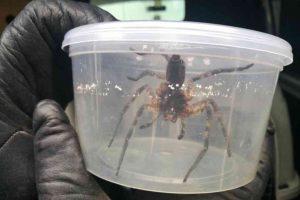 pająk odłowiony w sklepie