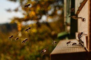 Chronić pszczoły i owady zapylające
