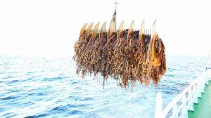 program zrównoważonego pozyskiwania wodorostów