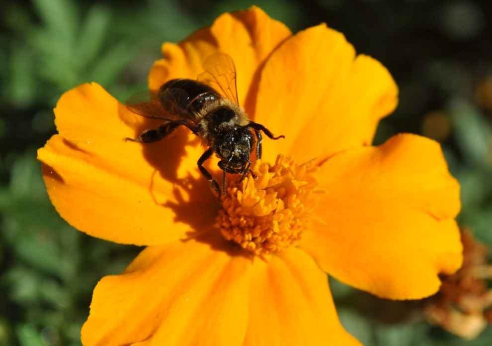 wspiera ochronę pszczół