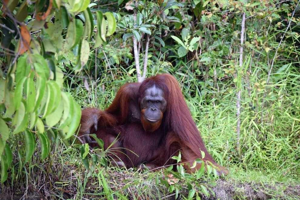 w obronie orangutanów