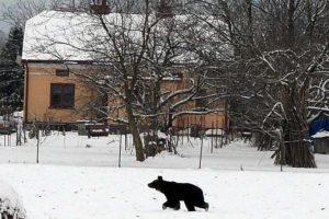 Wilki lub niedźwiedź pod domem