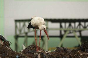 ZUOK ptaki na składowisku