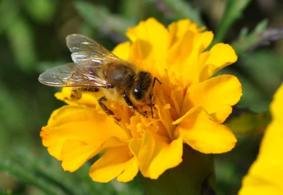 małopolskie pszczoły