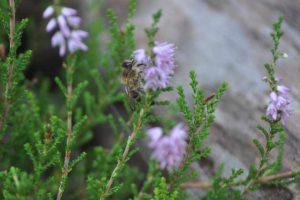 Małopolska pszczoła