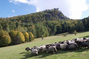 Owce jako kosiarki