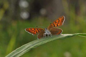 Motyle są zagrożone wyginięciem