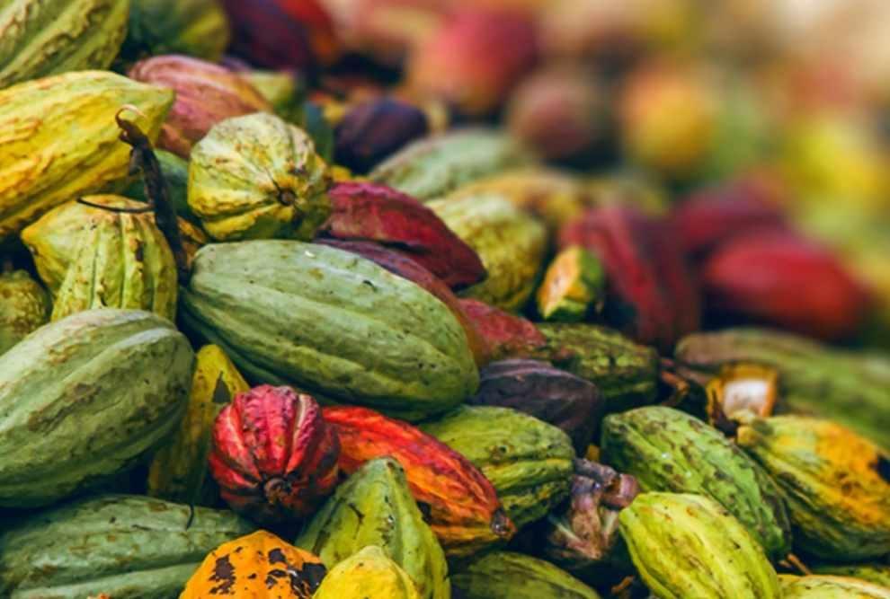 Na rzecz zrównoważonej uprawy kakao