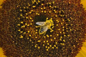 dla ochrony owadów zapylających