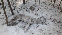 O znalezieniu martwego wilka
