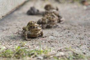 Daj przejść żabie