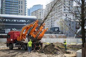 Operacja przesadzania 42 dużych drzew
