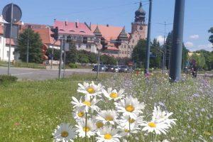 Kwietne łąki w Elblągu