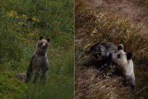 Spotkanie turysty z niedźwiedziem